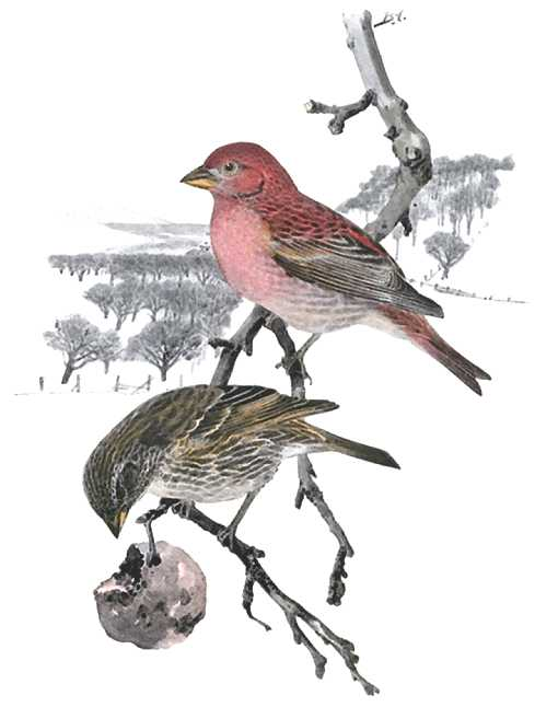 Painting of a house finch pair perched on a with a snowy winter forest scene in the background.