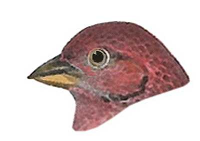 Select to See House Finch Species Page