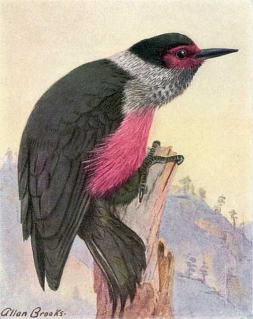 Painting of Lewis's woodpecker perched atop a decayed tree trunk with wooded mountain foothills in the background.