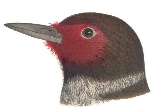 Visit the Lewis's woodpecker species page.