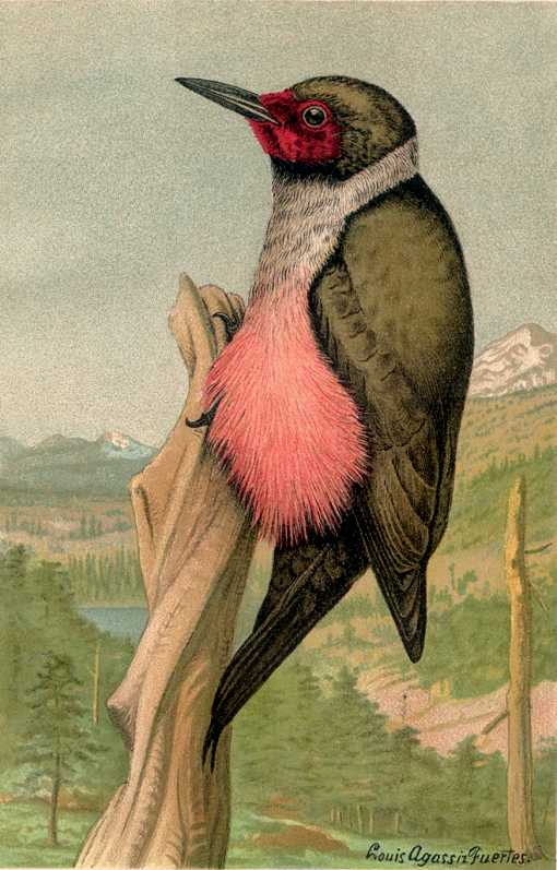 Painting of a Lewis's woodpecker perched on a decayed tree trunk with a coniferous forest in a valley and snow capped mountain in the background.