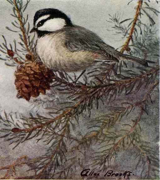 Painting of a mountain chickadee perched in a pine tree next to a pine cone against a foggy background.