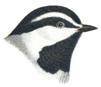 Read about mountain chickadees