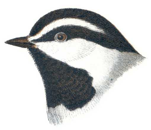 Painting of a mountain chickadee head profile.