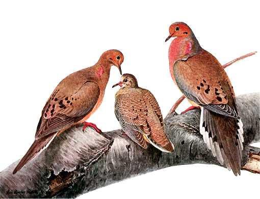 Painting of mourning dove parents and juvenile perched on a large tree branch.