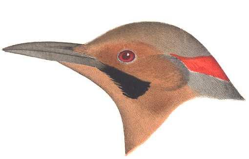 Visit the northern flicker species page.