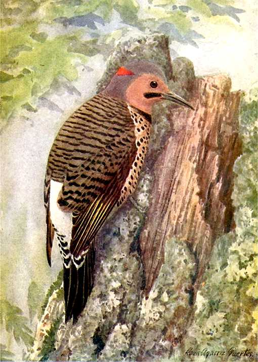 Water color of northern flicker foraging on a decaying stump with foliage in the background.