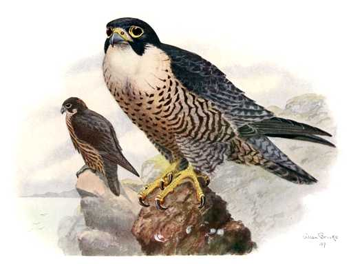 Painting of a peregrine falcon pair perched on rocks high on a mountain.