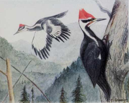 Painting of pileated woodpecker perched below a tree cavity entrance hole and another flying and a forested mountain background.