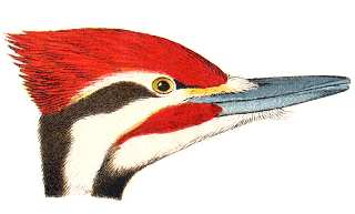 See species information for pileated woodpeckers