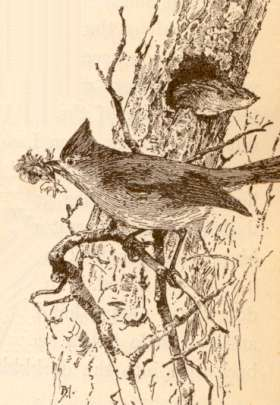 A woodcut print of an oak titmouse pair, one returning to a tree cavity with nest building foliage and its mate leaving the cavity.