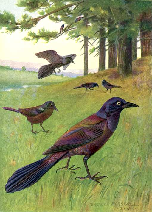 Painting of a flock of purple grackles foraging through grass and a wooded background.