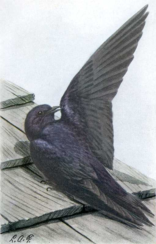 Painting of a purple martin perched on a wood roof shingles.