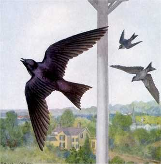 Visit the purple martin species page.