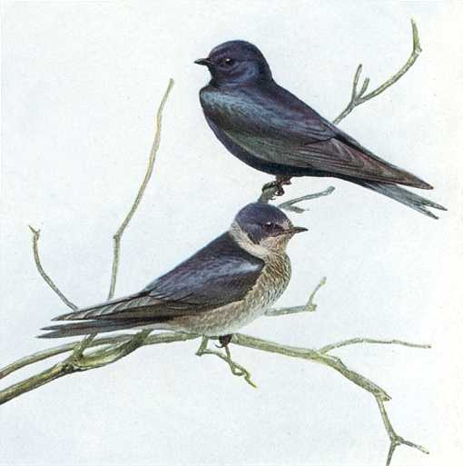 Painting of purple martins perched on tree branches.