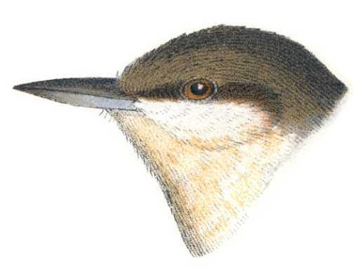 Pygmy Nuthatch Head