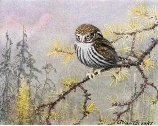 Painting of a pygmy owl perched on a tree branch in a coniferous forest.