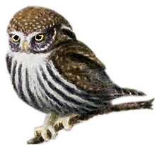 Visit the pygmy owl species page.