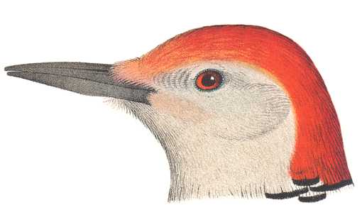 Red-bellied Woodpecker Head
