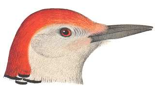 Red-bellied Woodpecker by Robert Ridgway