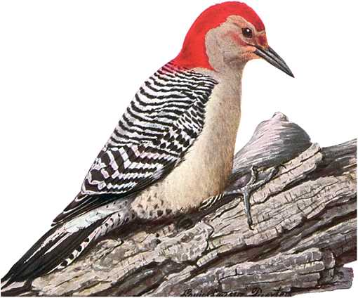Painting of red-bellied woodpecker perched on a fallen log.