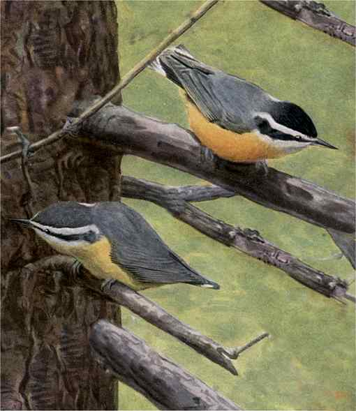 Painting of red-breasted nuthatches perched on tree limbs