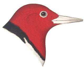 See species information for red-headed woodpeckers
