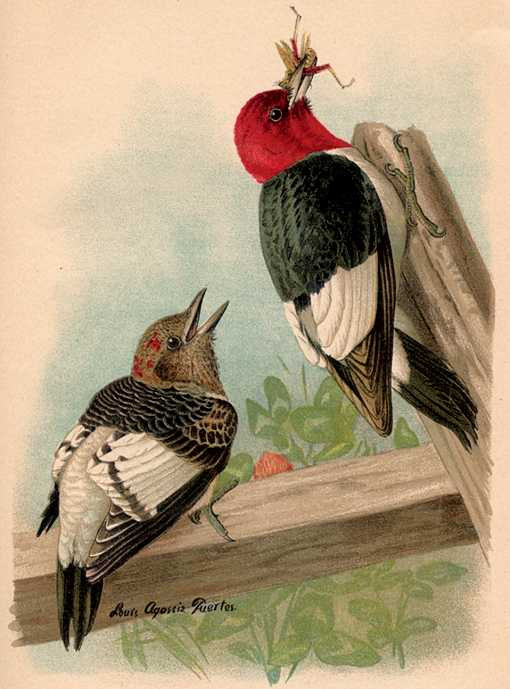 Painting of red-headed woodpecker male adult and juvenile perched on heavy fencing beams.