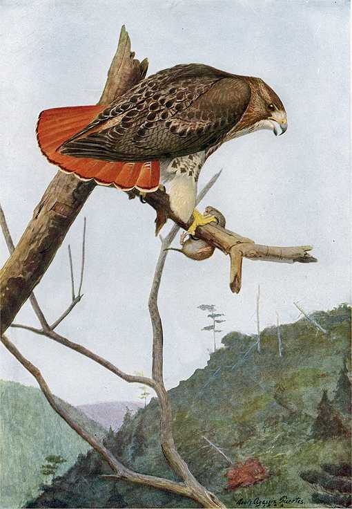 Painting of a red-tailed hawk with rodent prey perched in a tree top in a mountain forest.