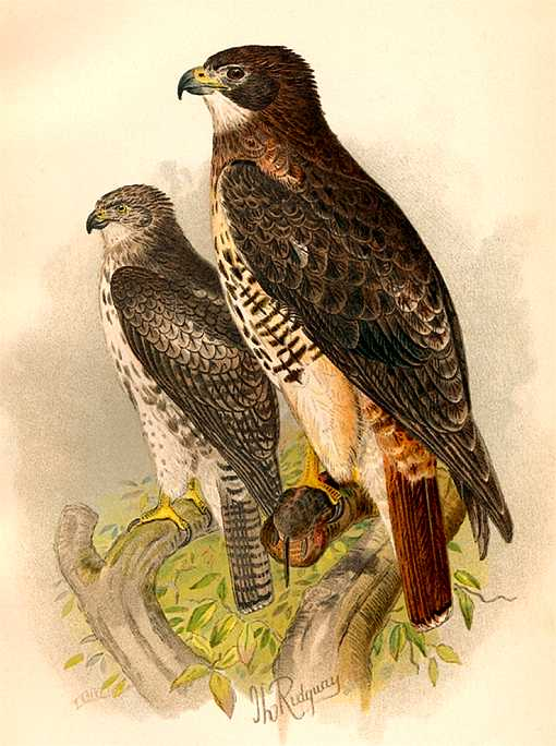 Painting of red-tailed hawks perched high on tree branches.