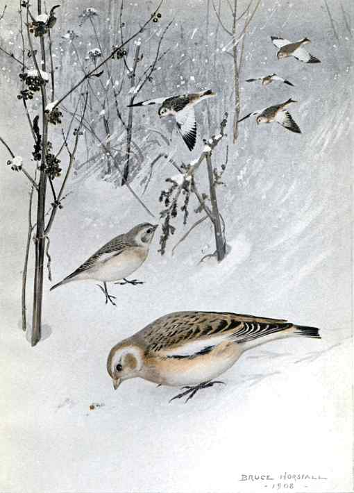 Painting of a flock of snow buntings foraging on the snow covered ground with a forest background.