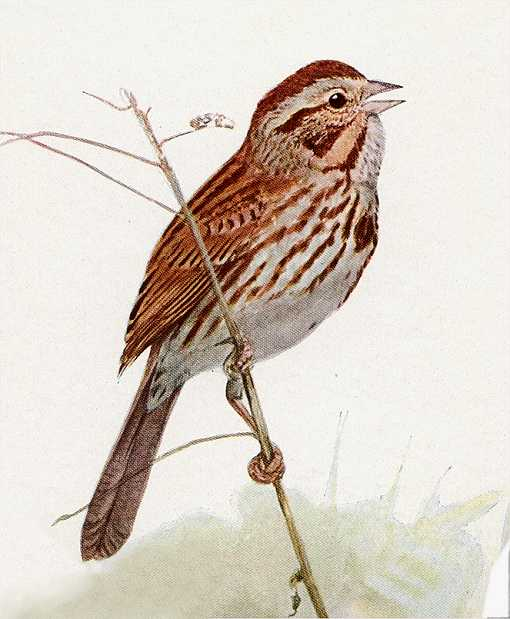 Painting of a song sparrow perched on a thin branch.