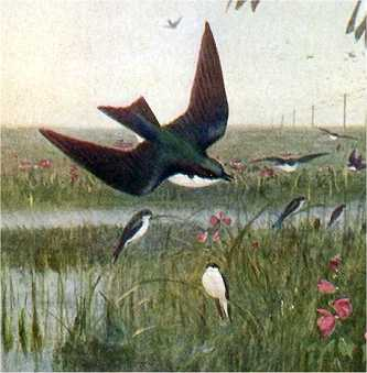 Visit the tree swallow species page.