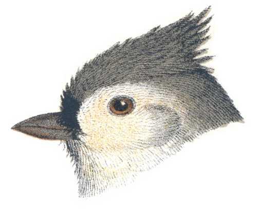 Profile illustration of tufted titmouse head.