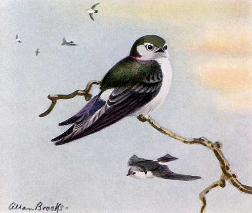 Painting of violet-green swallows one perched on a single branch and more flying high in the background.