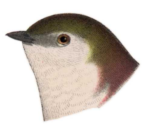 Visit the violet-green swallow species page.