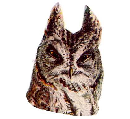 Select to read species information for the western screech owl