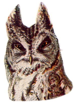 Visit the western screech owl species page.