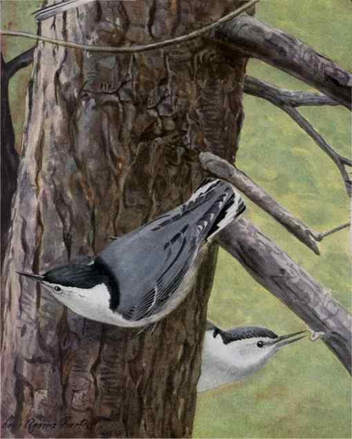 Painting of white-breasted nuthatches foraging for insects on a tree trunk