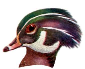 Visit the wood duck species page.