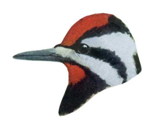 Visit the yellow-bellied sapsucker species page.