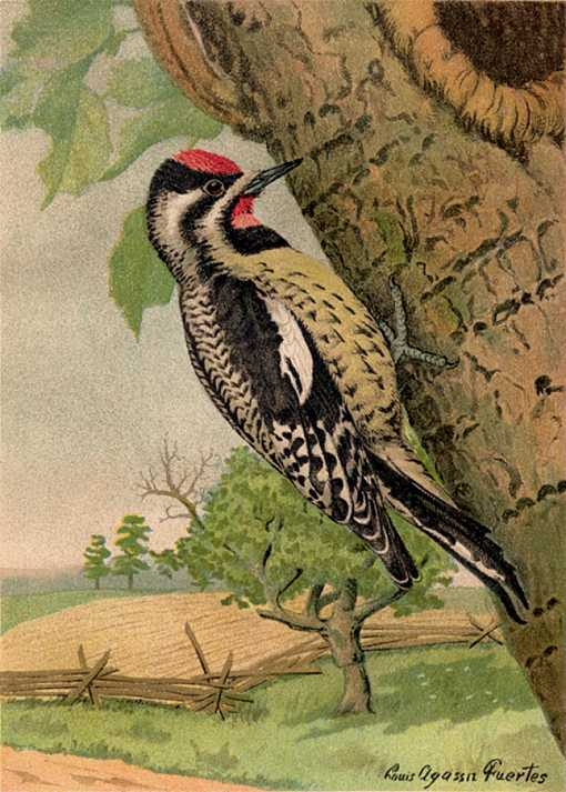 Painting of yellow-bellied sapsucker pecking rows of sap holes in a tree trunk with a farm field and tree in the background.