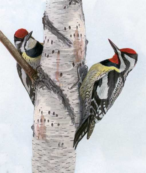 Painting of two yellow-bellied sapsuckers perched on the sides of a birch tree trunk.