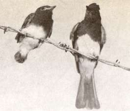 Photo of black phoebe adult and its offspring on fence wire.