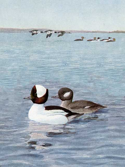 Painting of a bufflehead pair in a large lake with flying duck flocks and a distant shore in the background.