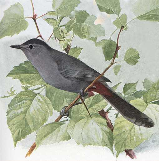 Watercolor painting of a catbird perched among foliage branches and leaves.