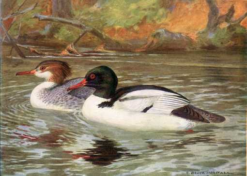 Painting of common mergansers paddling in a lake near shore and forest.