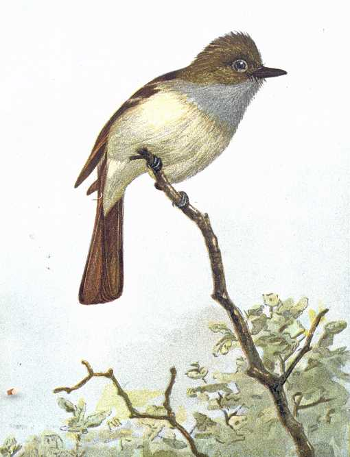 Painting of a great-crested flycatcher perched on a branch with tree tops in the background.