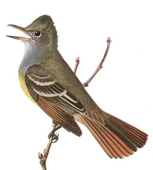 Painting of a singing great-crested flycatcher perched on a twig.
