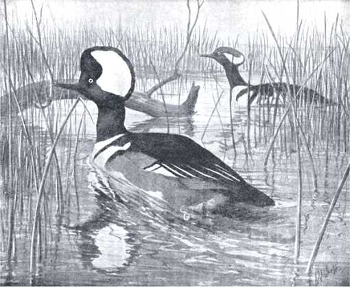 Painting of hooded mergansers paddling in a lake among reeds and fallen timber.